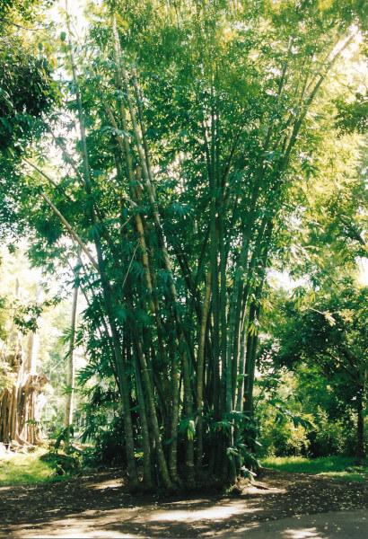 Un arbre bambou au jardin de Pamplemousses