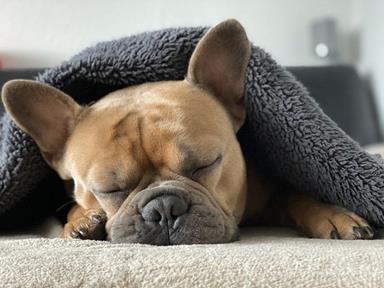 bulldog_dort
