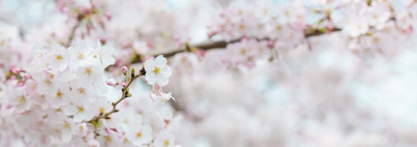 Sakura (Cherry Blossom) – Three Facts You May Not Know