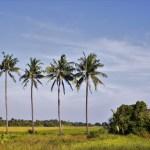 La Palma Real es reconocida por los cubanos como su árbol nacional y el más numeroso de la isla. Existen unas doce especies distribuidas en el sur de La Florida, en las islas de las Antillas y en Venezuela. Es un árbol elevado, que alcanza generalmente entre 12 y 15 metros de altura, coronado por un bellísimo penacho de hojas pinnatisectas.