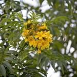 El Pau Brasil o Palo de Brasil, cuyo nombre científico es Caesalpinia echinata, es un árbol de tamaño mediano (entre 10 a 15 metros de altura) que pertenece a la familia de las leguminosas. Es el árbol nacional de Brasil, aunque hoy escasea en el país.