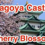 名古屋城さくら2014
