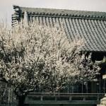 2015年 岡崎市 岩津天満宮の梅林(梅まつり)