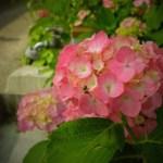 【三河のあじさい寺】幸田町「本光寺」の紫陽花まつりに行ってきた。