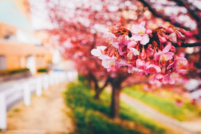 岡崎市乙川沿いの葵桜(河津桜)が咲き始めました!(竜美丘会館近く)