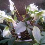 white xmas rose