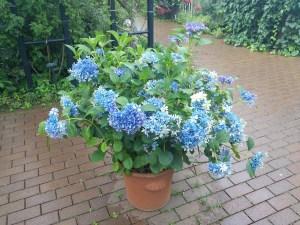 yokohama-english-garden-ajisai-fair