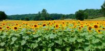 Join the thousands of sunflowers flocking to southwest France this summer at La Beaujardine.