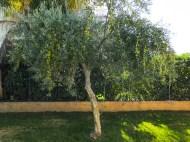 drzewko oliwne w naszym ogródku