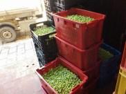 kosze oliwek