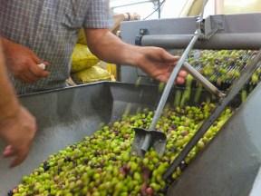 mycie oliwek