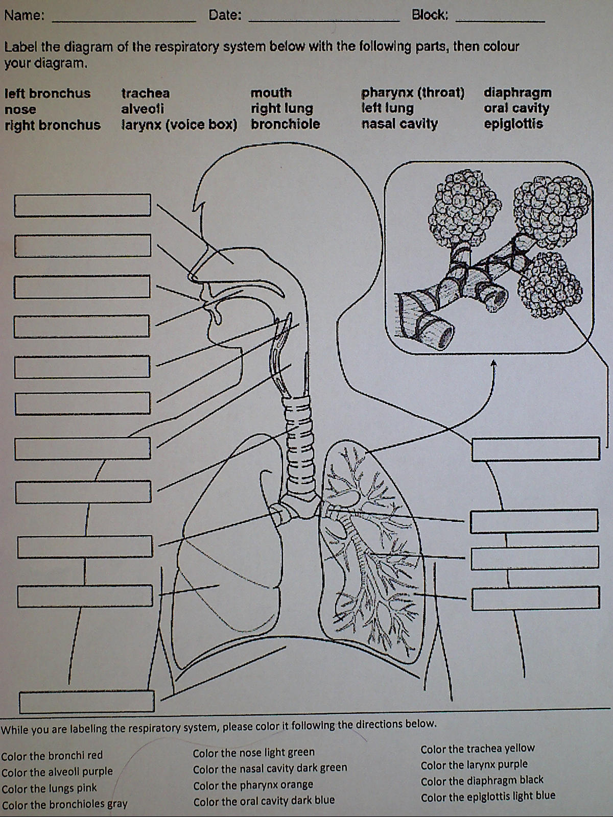 Label The Respiratory System Answers