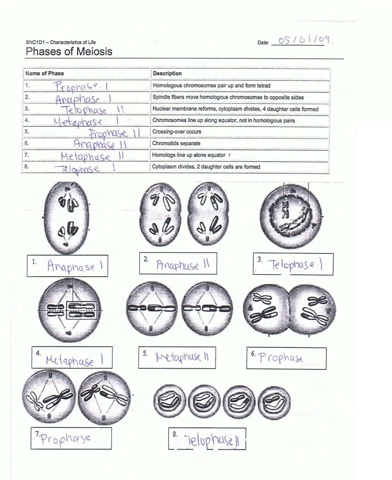 Label The Phases Of Meiosis Answers 2yn1mqb