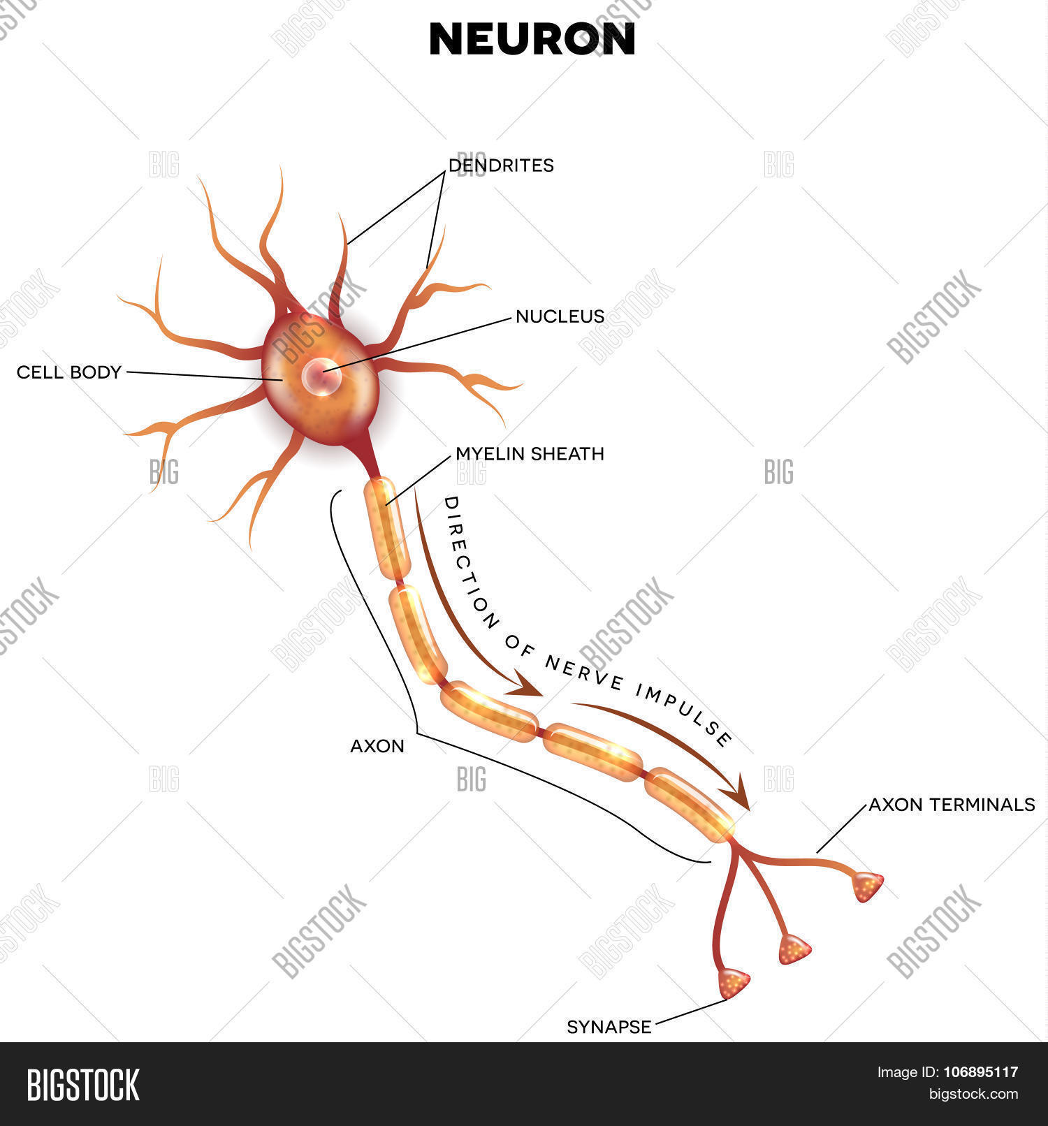 The Neuron Labeled