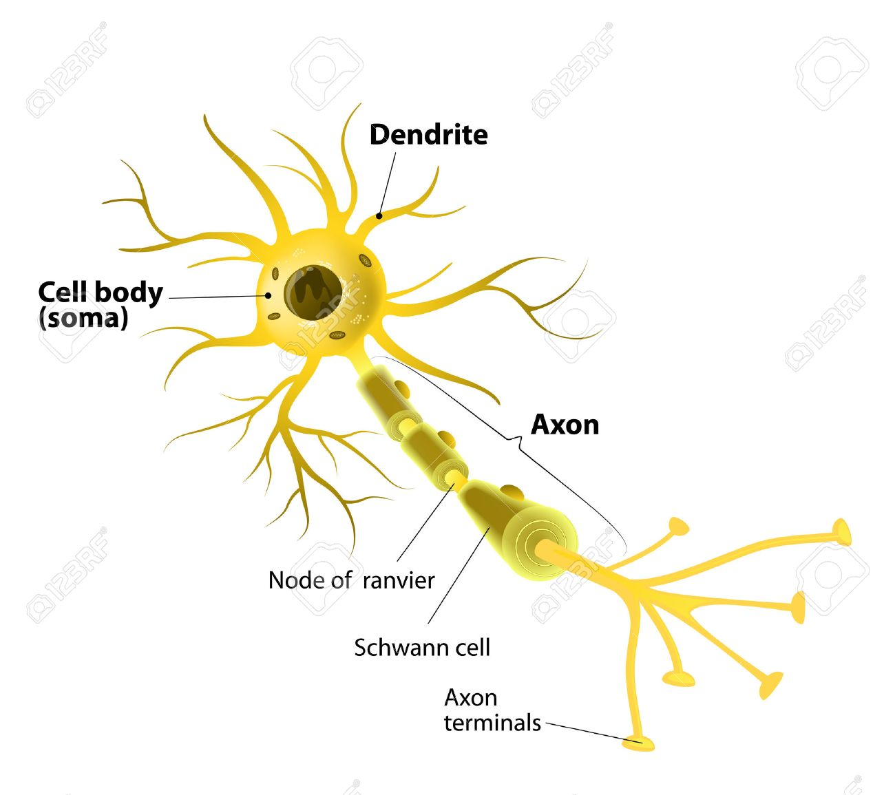 The Neuron Labeled Neuron And Synapse Labeled