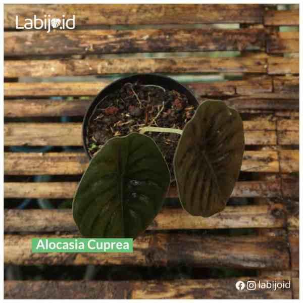 Rare Alocasia Cuprea for sale