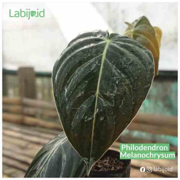 Philodendron Melanochrysum sale