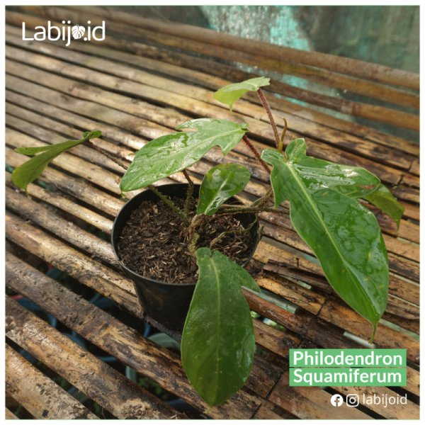 Philodendron Squamiferum in on sale