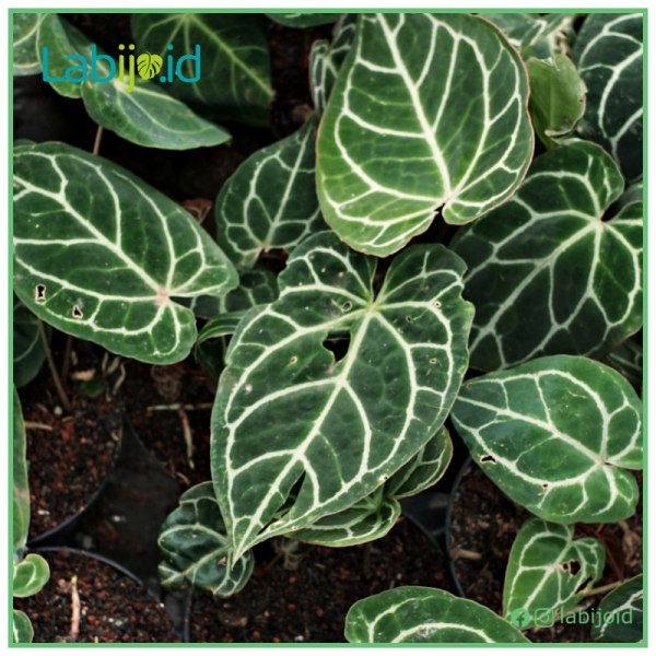 Anthurium Crystallinum broken leaf wholesale