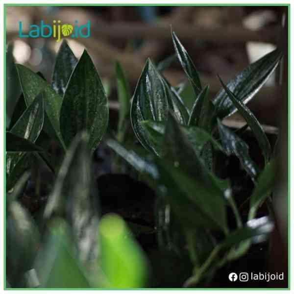 wholesale scindapsus treubii dark form for sale