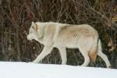 Loup gris 1
