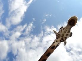Parc Safari, 2010, elle est tellement hot! La seule chose, je ne sais pas si c'est moi ou ma soeur qui l'a prise. Moitié crédit à ma soeur! ;)