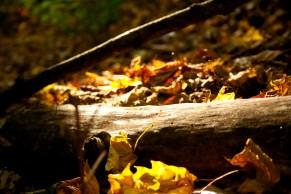 Buche et feuilles