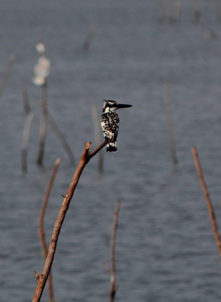 Pied Kingfisher on Keta Lagoon