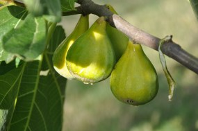figues charente maritime