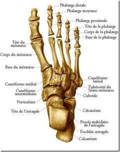 anatomie pied-metatarsien-labo du skieur