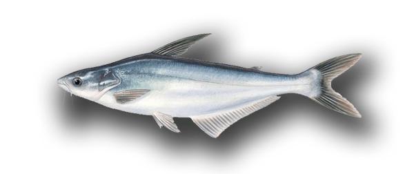El panga, ¿pescado saludable?
