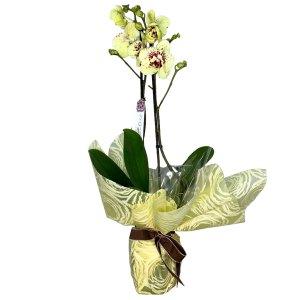 planta-orquidea-phaleonopsis-lemon-02