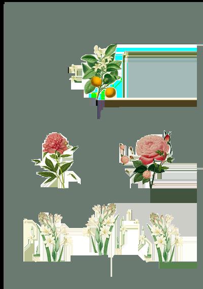 Le caratteristiche della fragranza Peonia Radiosa