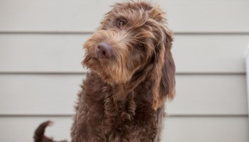 Should i get a labradoodle are labradoodles aggressive Labradoodle Average Life Expectancy chocolate labradoodle