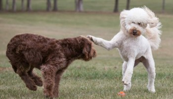 Why is my labradoodle so hyper how to get labradoodle to calm down English Labradoodle Breeders