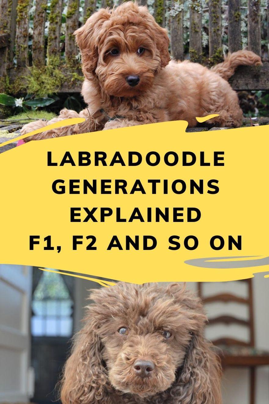 labradoodle generations