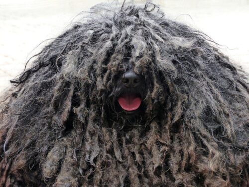 Can I groom my labradoodle myself? how do you groom labradoodles, should i shave my labradoodle, shaved labradoodle black labradoodle