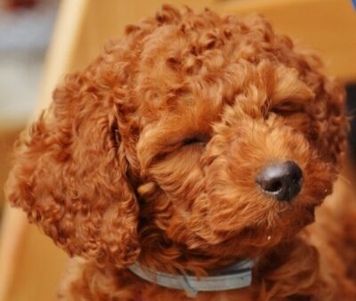 Can i groom my labradoodle by myself Labradoodle Hip Dysplasia