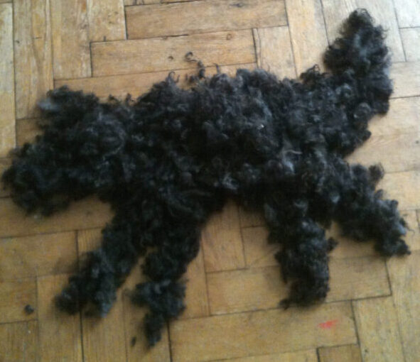 Do Labradoodles Shed Lets Take A Look Labradoodle Home