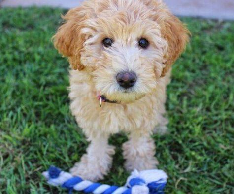 f1 labradoodle training sit Best Labradoodle Harness why do labradoodles whine labradoodle puppy checklist
