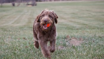 labradoodle exercise needs training how fast can a labradoodle run