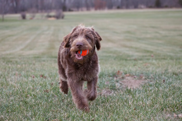 labradoodle exercise needs training how fast can a labradoodle run English Labradoodle Size