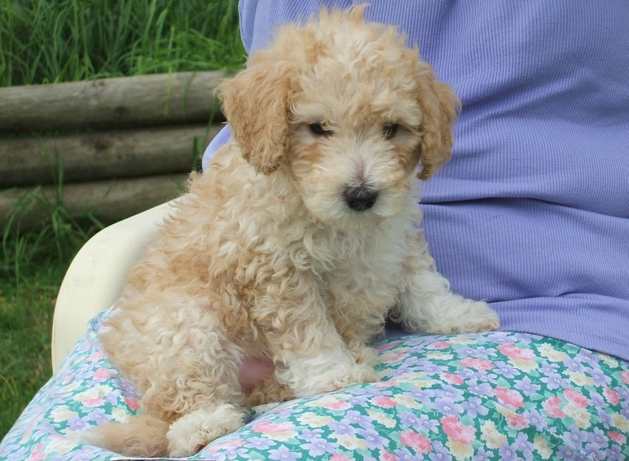 can a labradoodle live outside labradoodle puppy checklist how long do puppies teeth house training a labradoodle puppy can labradoodles see color