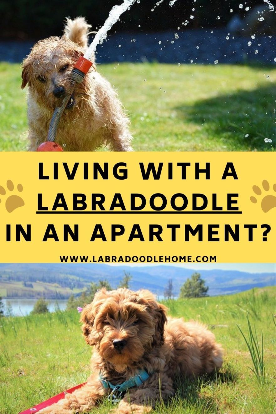 Can a Labradoodle Live In an Apartment 1