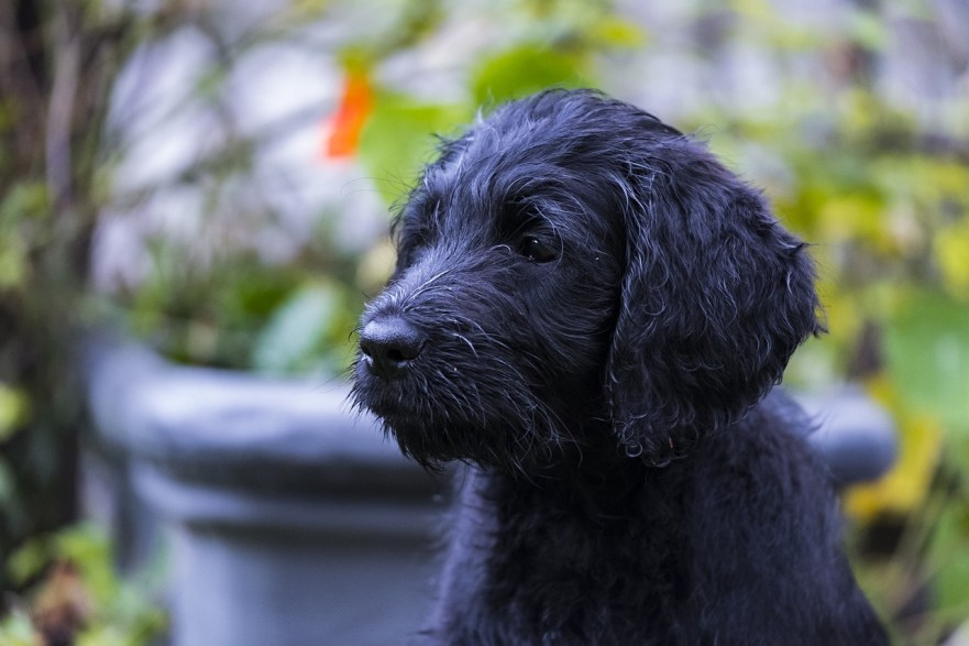 can a labradoodle live in an apartment, labradoodle in an apartment black labradoodle