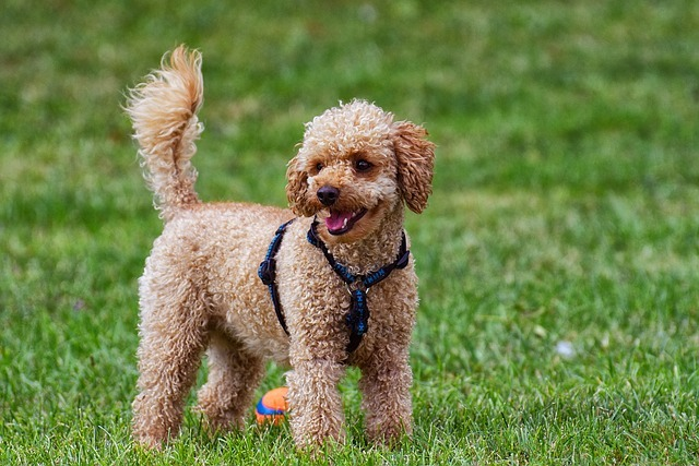 should i shave my labradoodle best gps tracker for labradoodles