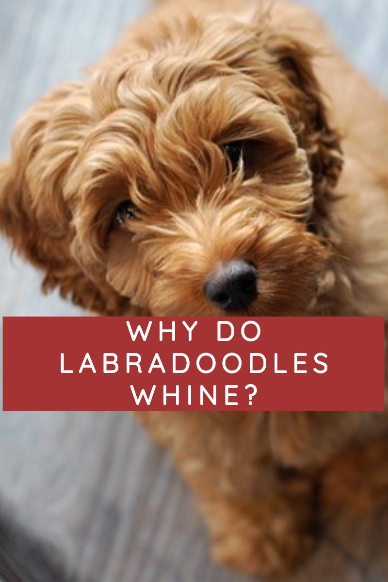 why do labradoodles whine