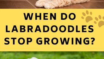 When Do Labradoodles Stop Growing