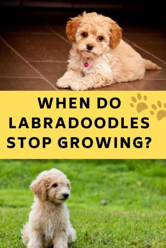 When Do Labradoodles Stop Growing