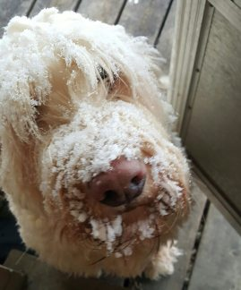 Can Labradoodles Stay Outside in The Cold, labradoodle in the cold can labradododles live outside